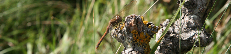 Seen locally but not necessarily photographed locally - Common Darter dragonfly.