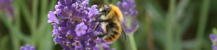Seen locally but not necessarily photographed locally - Bumble Bee on Lavender
