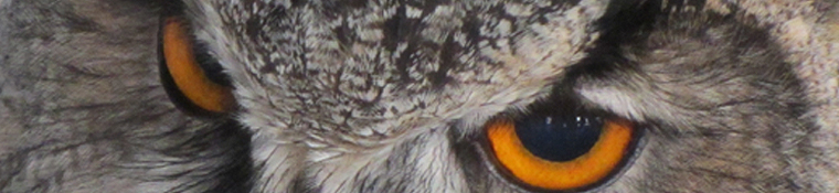 The eyes have it - Eagle Owl.