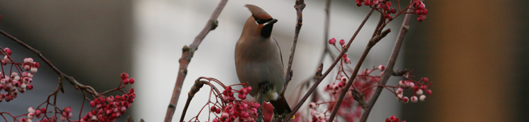 One of a flock of 10 waxwings, Hala, Lancaster.